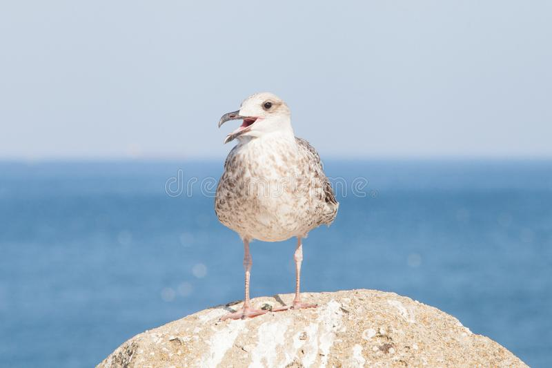 Protest concept: seagull protesting. On blue sky and atlantic ocean stock image