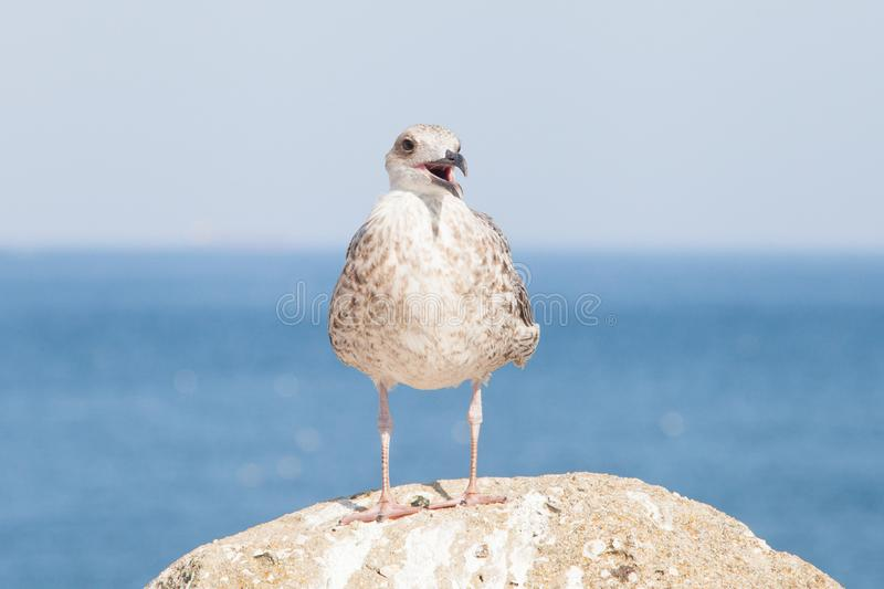 Protest concept: seagull protesting. Blue sky and atlantic ocean background royalty free stock photography