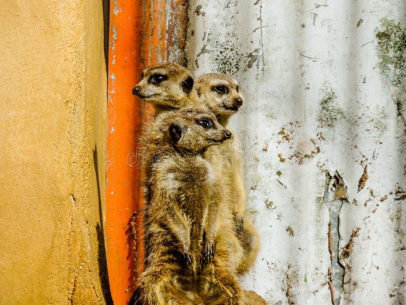 Protetor da posição da família de Meerkat, jardim zoológico de Auckland, Auckland, Nova Zelândia fotografia de stock royalty free