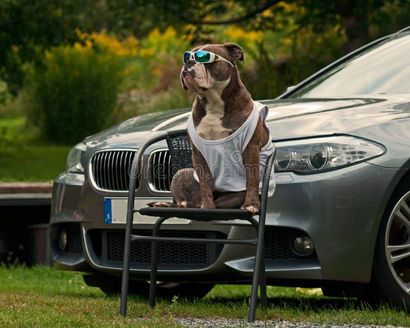 Protetor do buldogue BMW do mestre imagens de stock royalty free