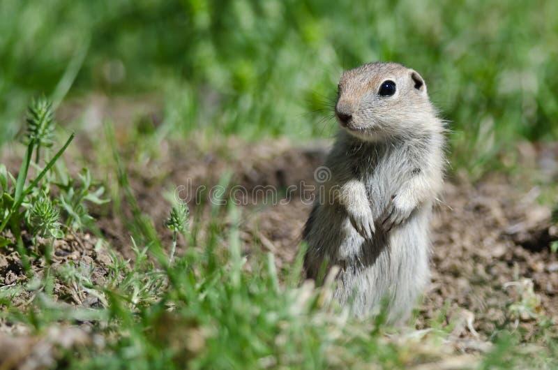 Protetor pequeno alerta Over Its Home da posição do esquilo à terra fotografia de stock