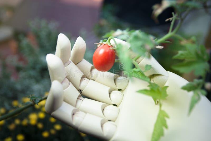 protetyczna ręka trzyma czereśniowego pomidoru zdjęcie royalty free