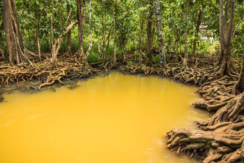 Protezione forestale e turista di Tha Pom Klong Song Nam Mangrove immagine stock libera da diritti