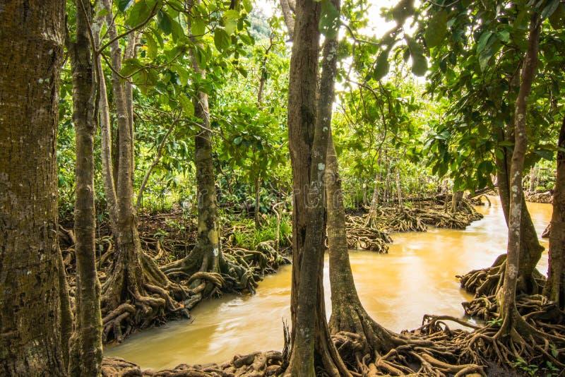 Protezione forestale e turista di Tha Pom Klong Song Nam Mangrove immagini stock libere da diritti