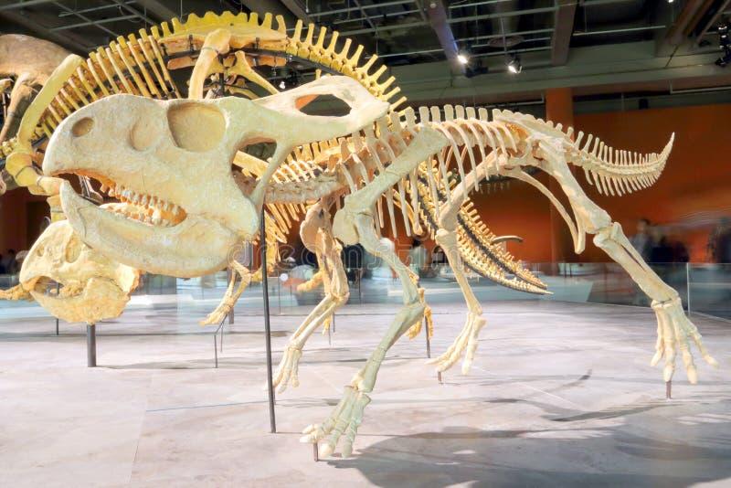 Protoceratops Stock Photos