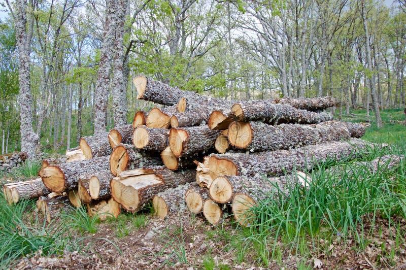 Protokollierung von Eichen im Wald stockfoto