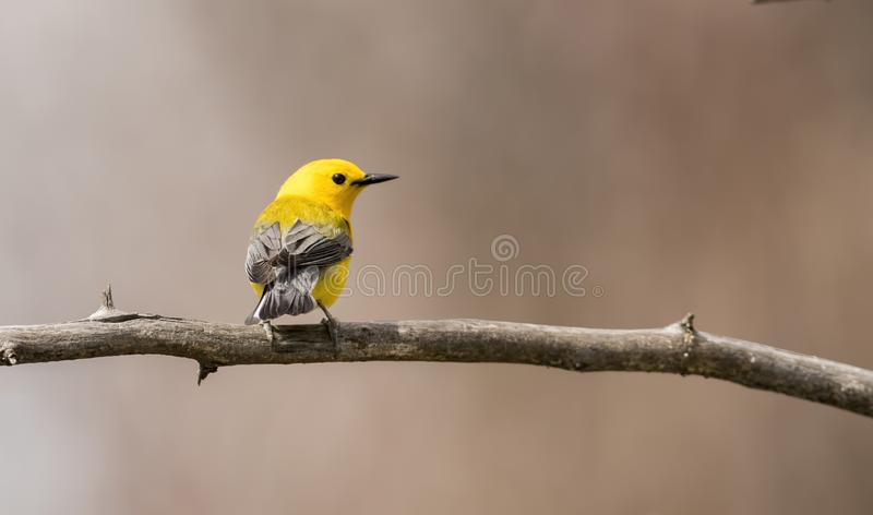 Protonotary Warbler Perched on a Branch. During Spring Migration royalty free stock images