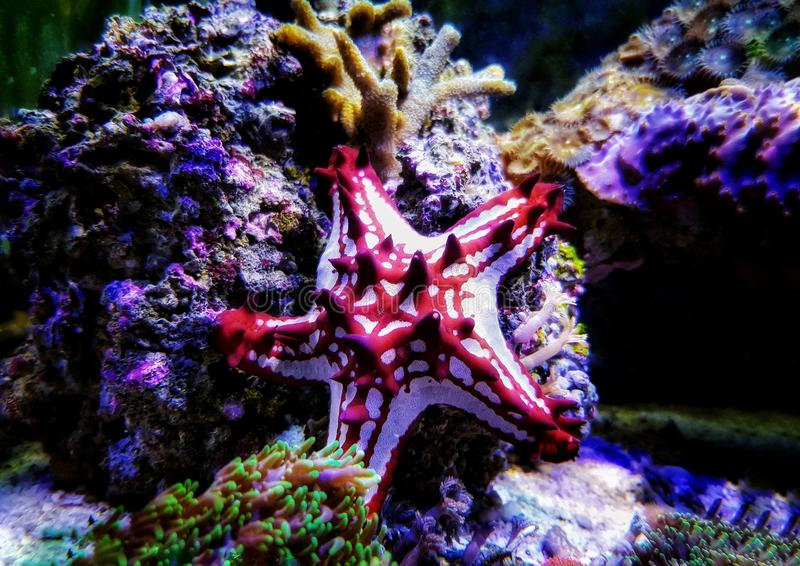 Red Knob Starfish - Protoreaster linckii. Protoreaster linckii, the red knob sea star, red spine star, African sea star, or the African red knob sea star, is a stock photography