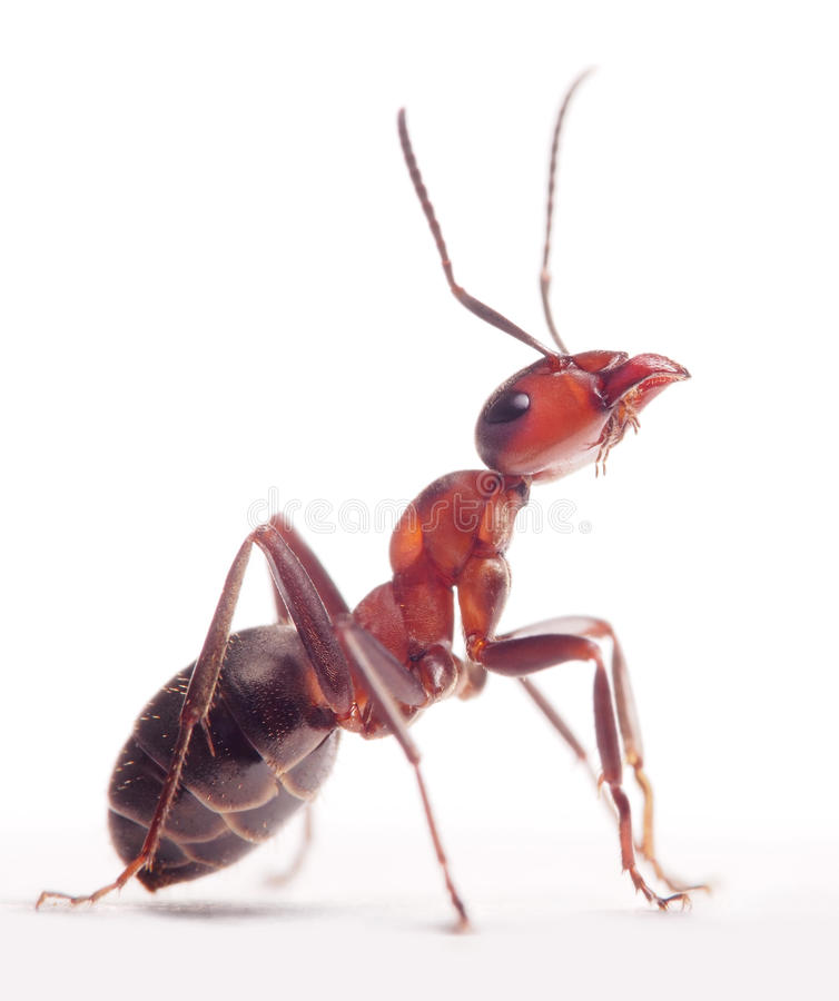 Proud ant formica rufa royalty free stock photos