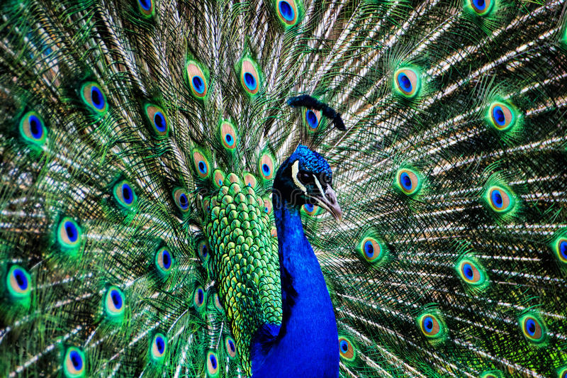 Proud As A Peacock. Blue peacock displaying his feathers during courtship royalty free stock photo