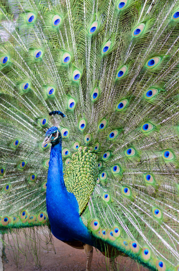 Proud as a Peacock. Peacock with his tail feathers on display to attract a mate royalty free stock image