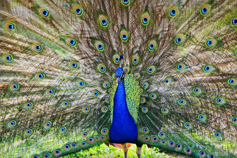 Proud as a Peacock. A proud peacock showing off its beauty stock images