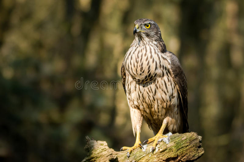 Proud buzzard looking stock photo