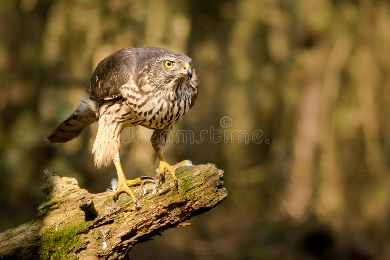 Proud buzzard ready to go stock images