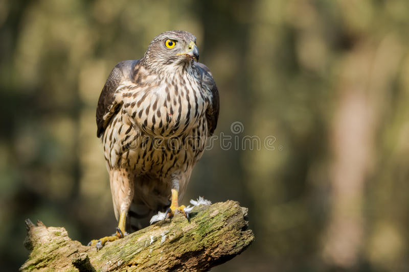 Proud buzzard resting after meal royalty free stock photos