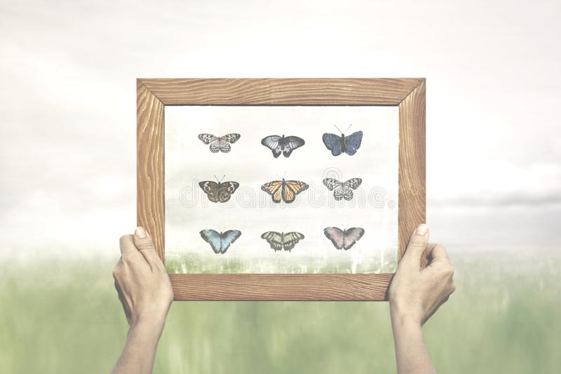 Proud collector shows his special collection of butterflies stock photography