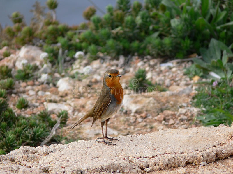 Proud Cute small bird with orange breastEuropean Robin redbreast royalty free stock photography