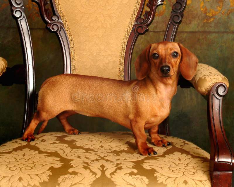 Proud Dachshund stock photos