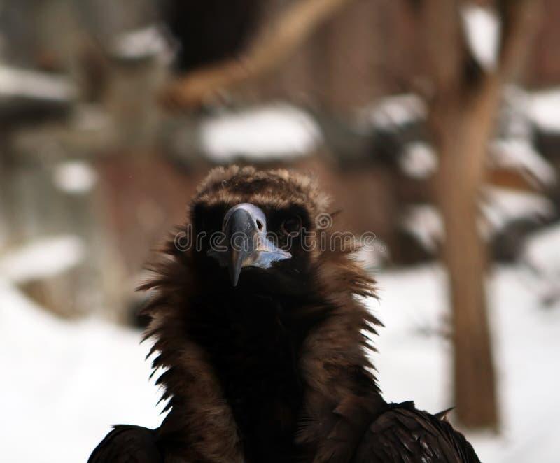 Proud eagle royalty free stock image