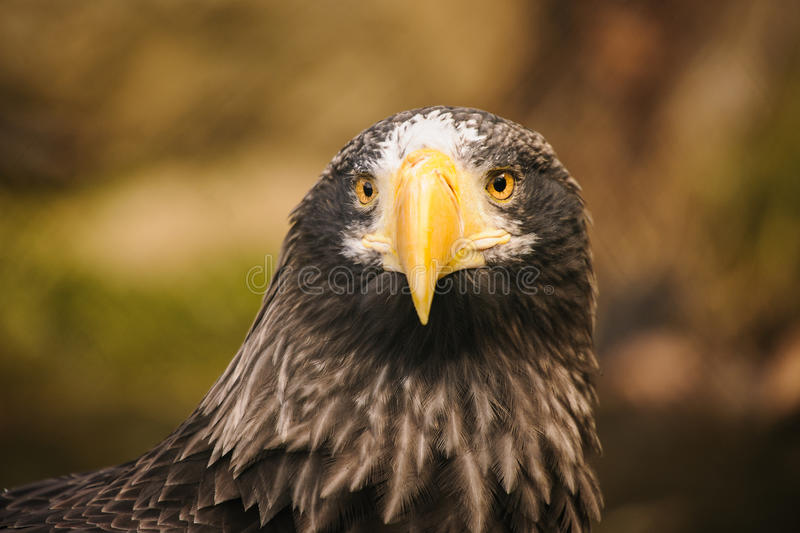 Download Proud eagle stock photo. Image of yellow, animal, eagle - 37159248