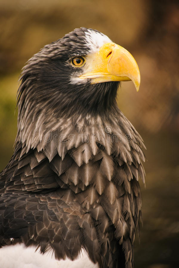 Download Proud eagle stock photo. Image of wild, field, browin - 37159252