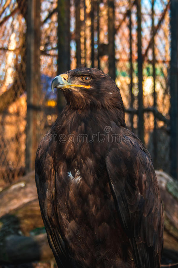 A proud eagle behind bars stock images