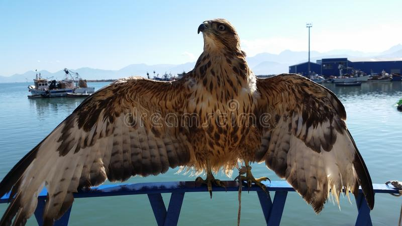 Proud Falcon royalty free stock images
