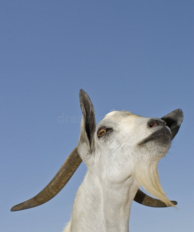 Download Proud goat stock photo. Image of animal, wild, pose, funny - 665528