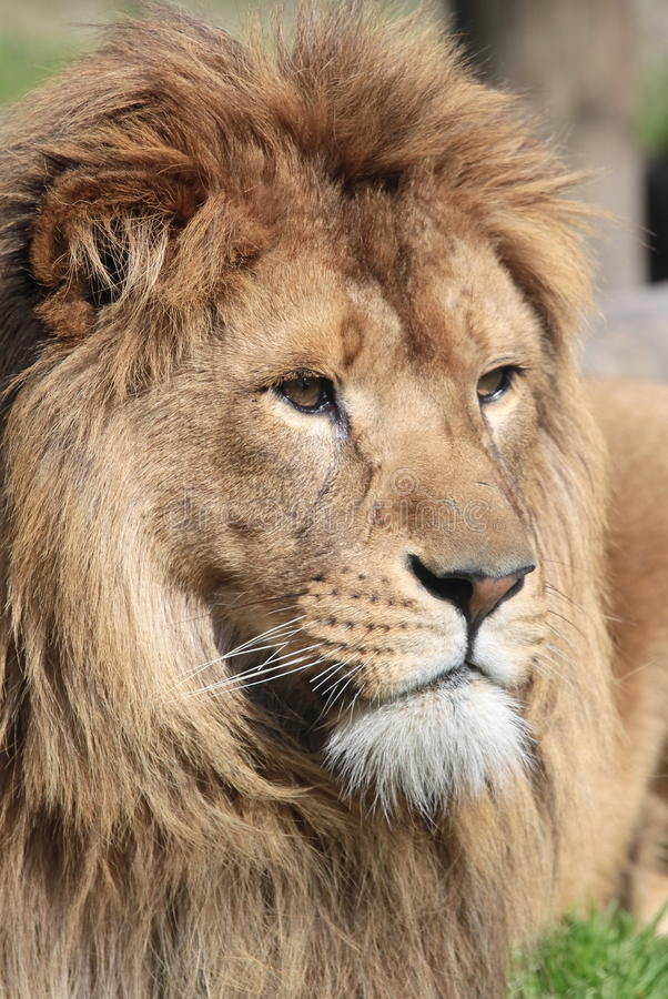Download Proud Lion stock photo. Image of feline, feared, awesome - 13703296