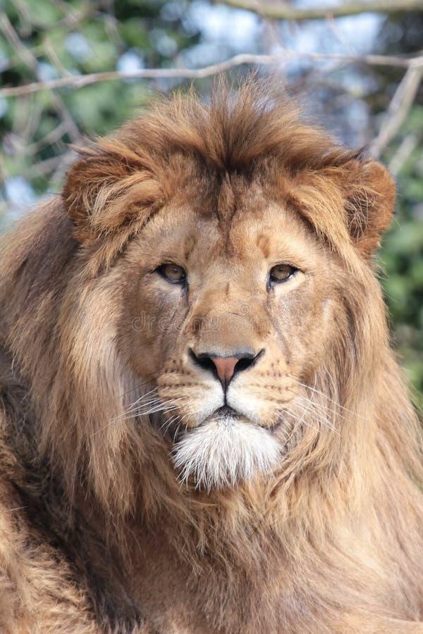 Free Proud Lion Stock Image - 13838721