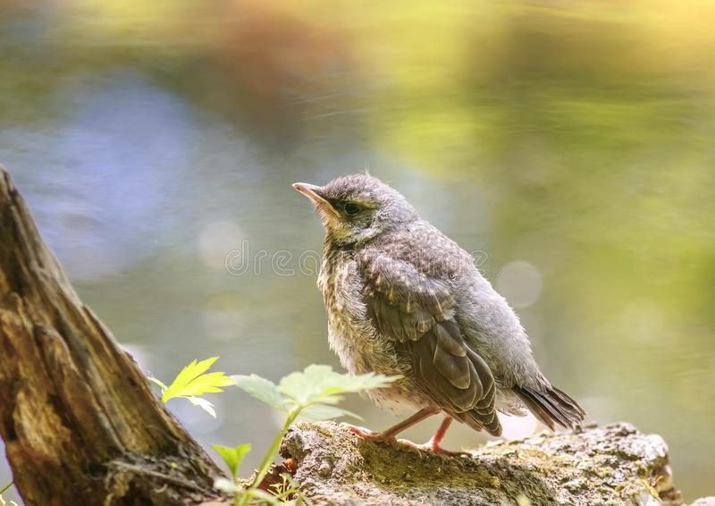 A proud little baby bird a Blackbird is sitting in the early spring the Park near a pond and waiting for parents royalty free stock photos