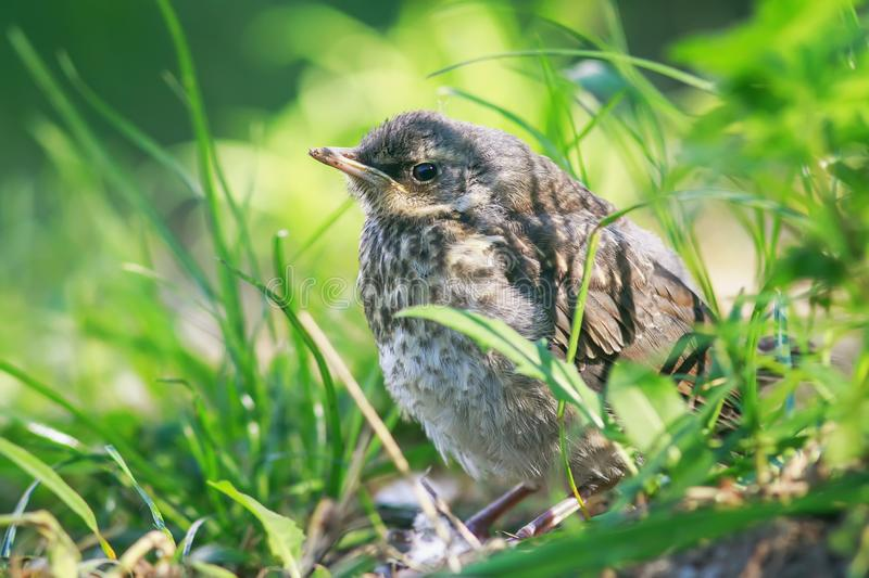 Proud little baby bird a Blackbird is sitting in the green grass. In the Park and waiting for parents royalty free stock image