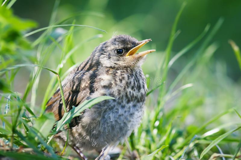 Proud little baby bird a Blackbird is sitting in the green grass. In the Park and waiting for parents royalty free stock photos