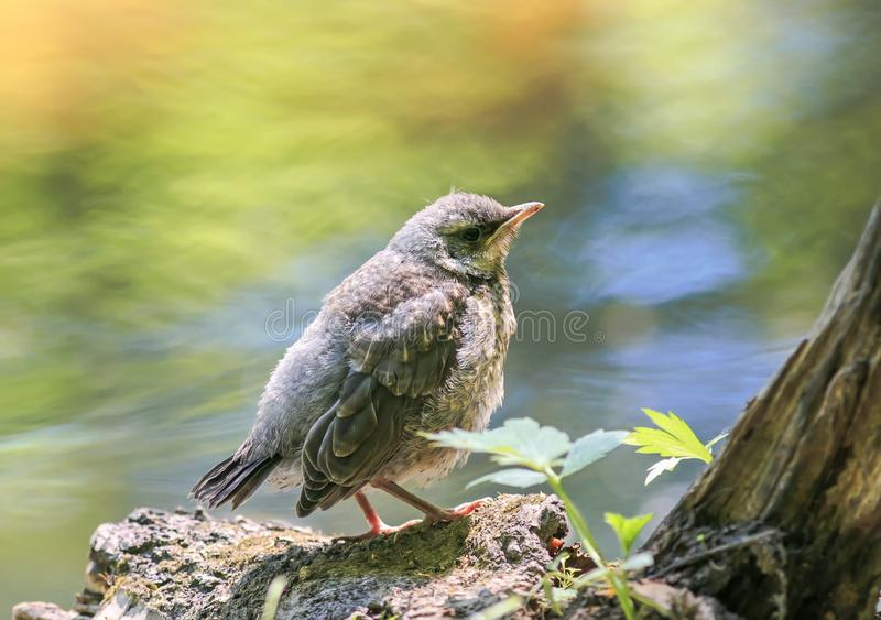 A proud little baby bird a Blackbird is sitting in a Sunny bright spring Park near a pond and waiting for parents royalty free stock image