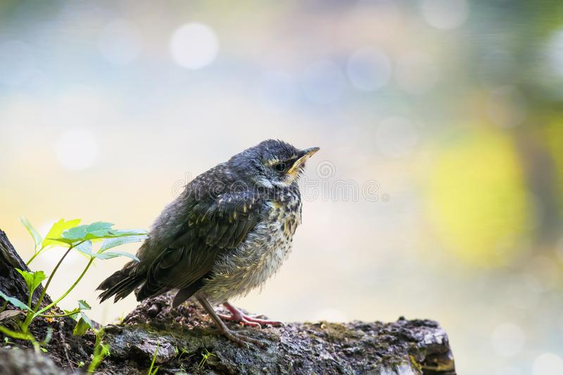 Proud little baby bird a Blackbird is sitting in a Sunny bright. Spring Park near a pond and waiting for parents royalty free stock photo