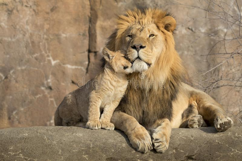 Male african lion is cuddled by his cub during an affectionate moment stock images