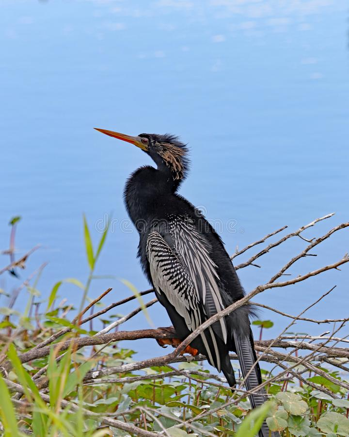 Male Anhinga by river royalty free stock images