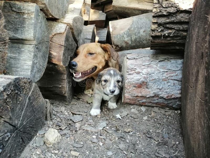 Proud mother dog royalty free stock photos