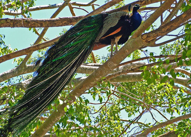 Download Proud Peacock stock image. Image of mate, hotshot, talker - 32845