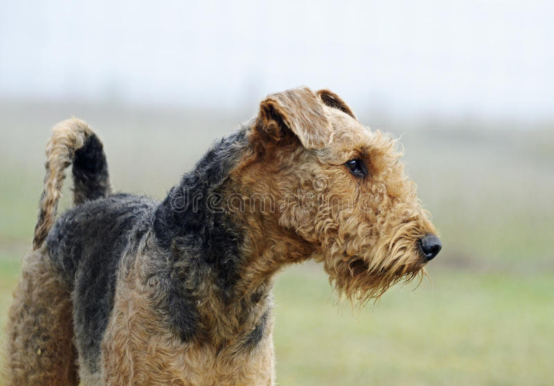 Proud pedigree show champion Airedale Terrier standing early morning mist stock photography