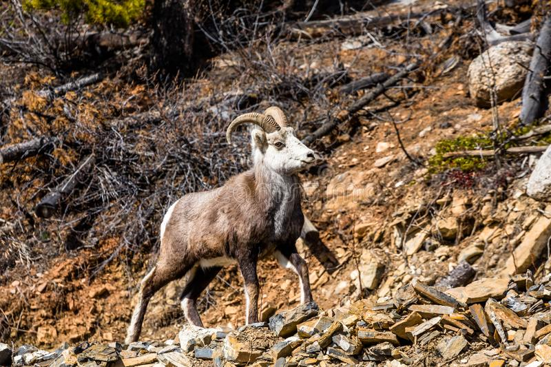 Proud ram on rocks in the Yukon Territory of Canada stock photography