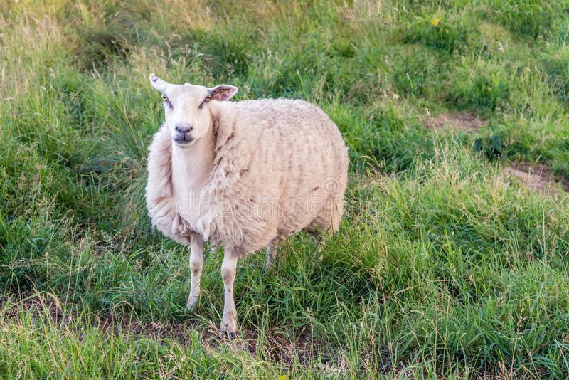 Portrait of a sheep in winter coat. Proud sheep in winter coat poses for the photographer stock image