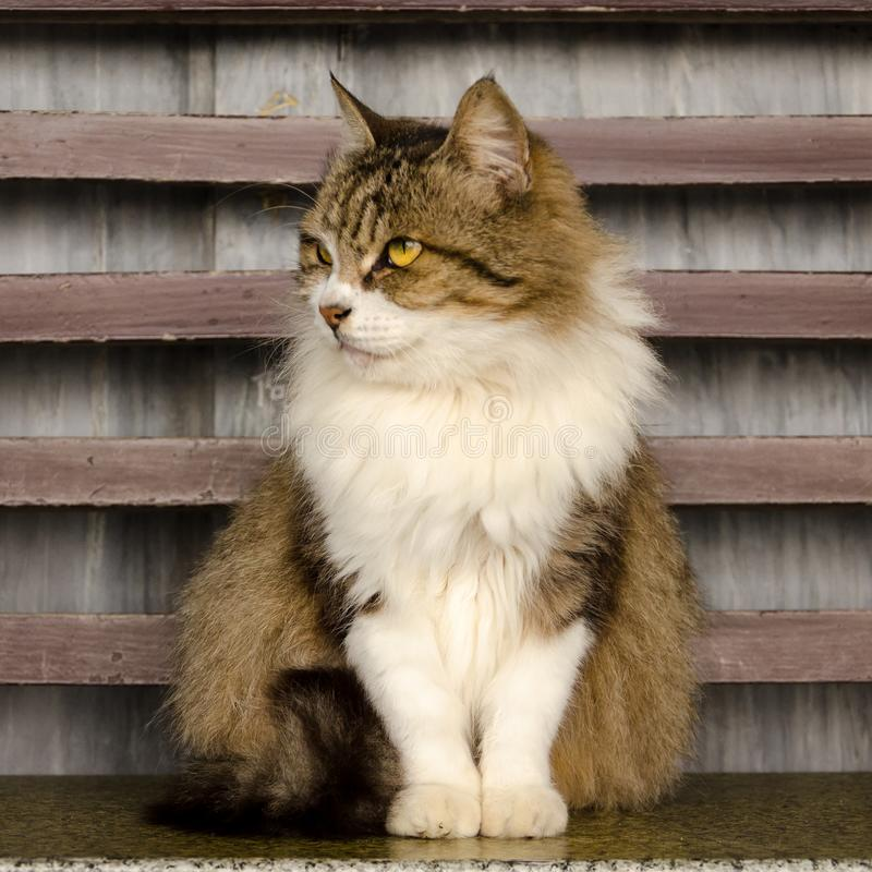 Stately cat in front of striped wood background. Proud, stately cat with long fur and front paws together looks off to the side in front of striped wood royalty free stock photos