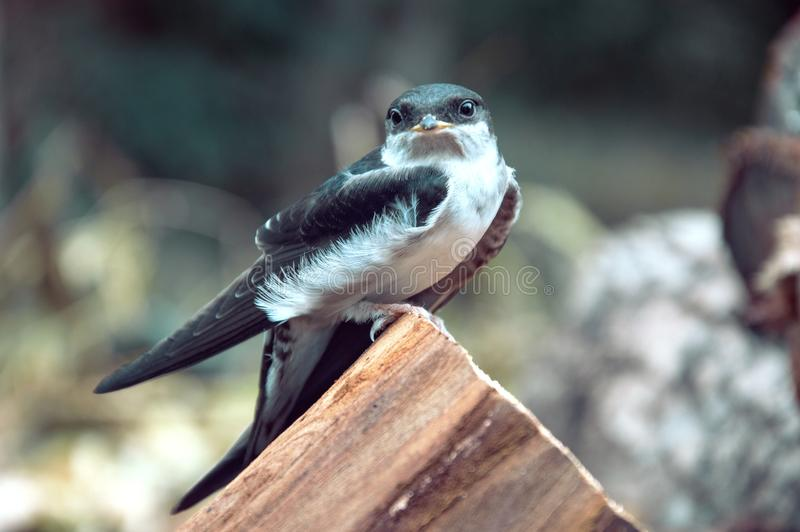 Proud swallow royalty free stock images