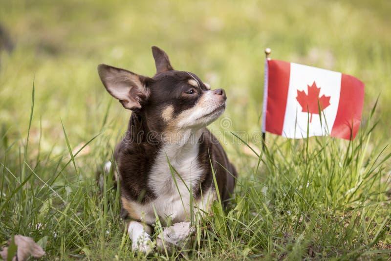 Pround-Chihuahua auf dem Gras lizenzfreies stockbild
