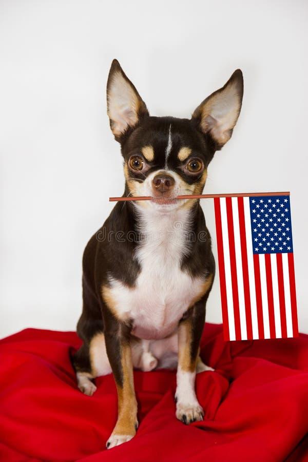 Pround-Chihuahua mit Amerika-Flagge stockfotografie