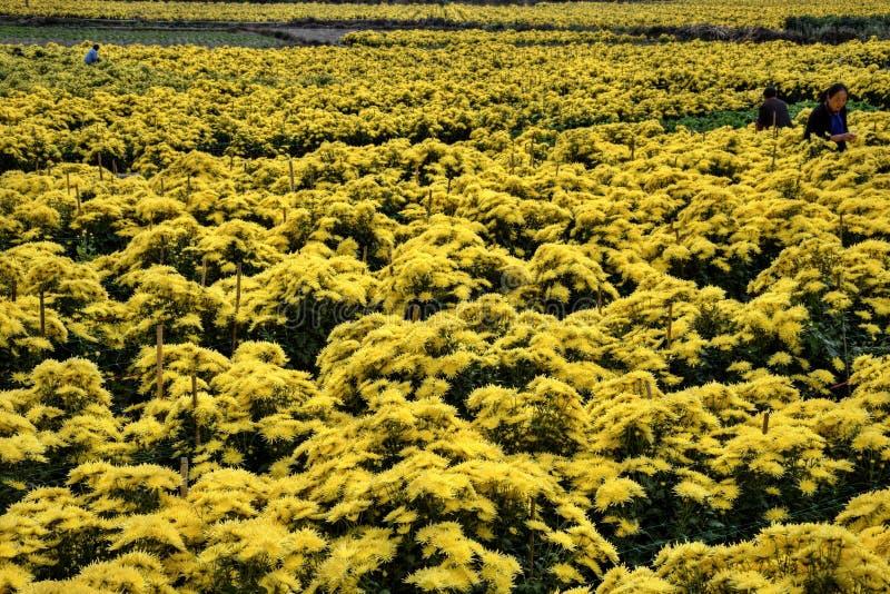"""PROVÍNCIA de ANHUI, †de CHINA """"CERCA DO outubro de 2017: As máquinas desbastadoras de flores amarelas do crisântemo fotografia de stock royalty free"""