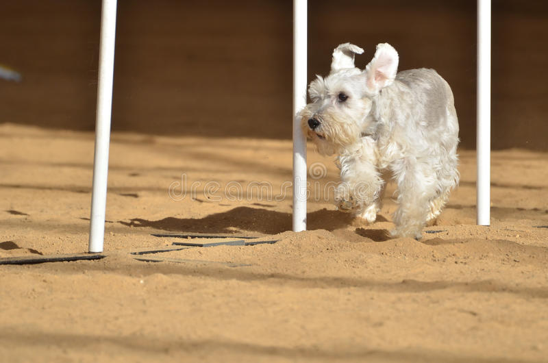 prov agilityhundför miniatyrschnauzer royaltyfri bild