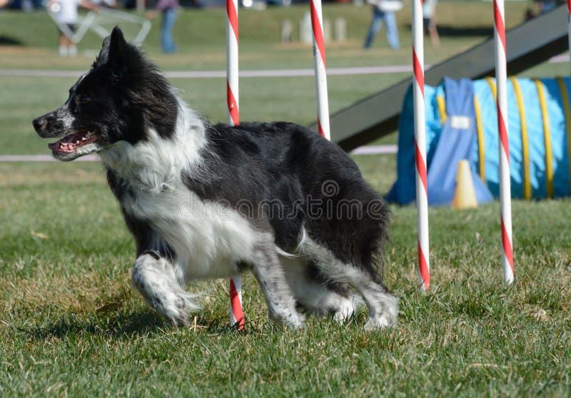 Prova di agilità del cane di NADAC fotografie stock libere da diritti