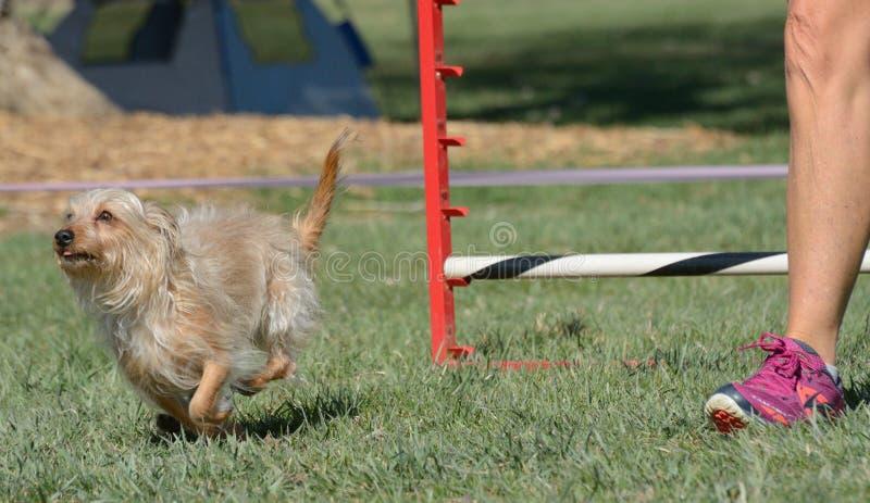 Prova di agilità del cane di NADAC fotografia stock